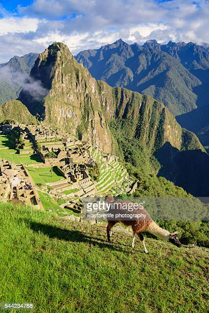 Llama walking in front of Machu Picchu, Peru