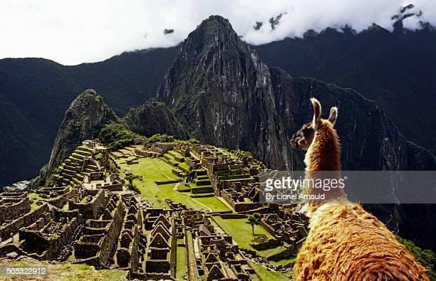 llamachu picchu - llama animal fotografías e imágenes de stock