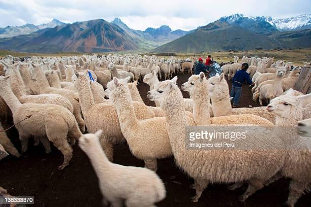 llamas against mountain - リマ ストックフォトと画像