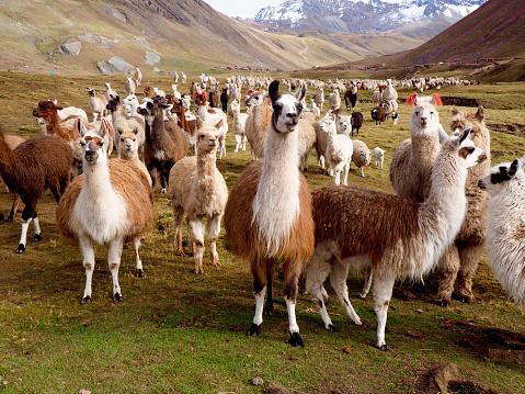 Llamas and Alpacas Of Peru 1136840631