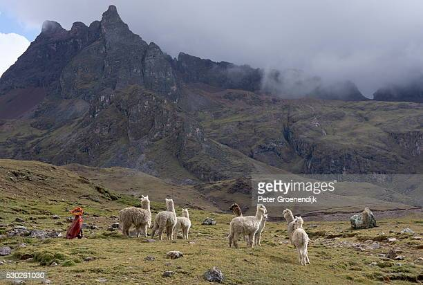 Llamas and herder, Andes, Peru, South America