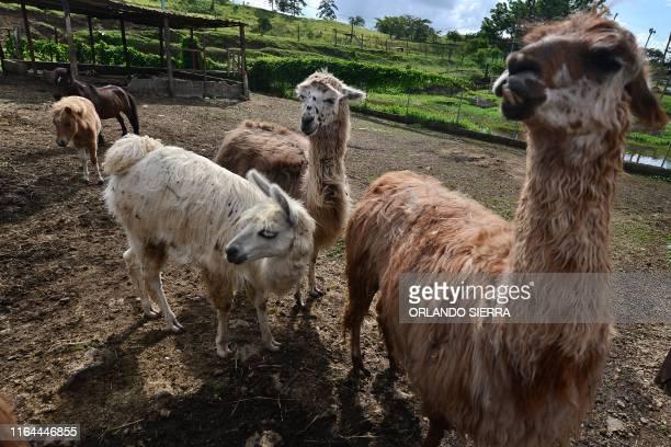 Llamas are seen at the Joya Grande zoo in Santa Cruz de Yojoa 150 km north of Tegucigalpa on August 11 2019 Joya Grande which was seized to Los...