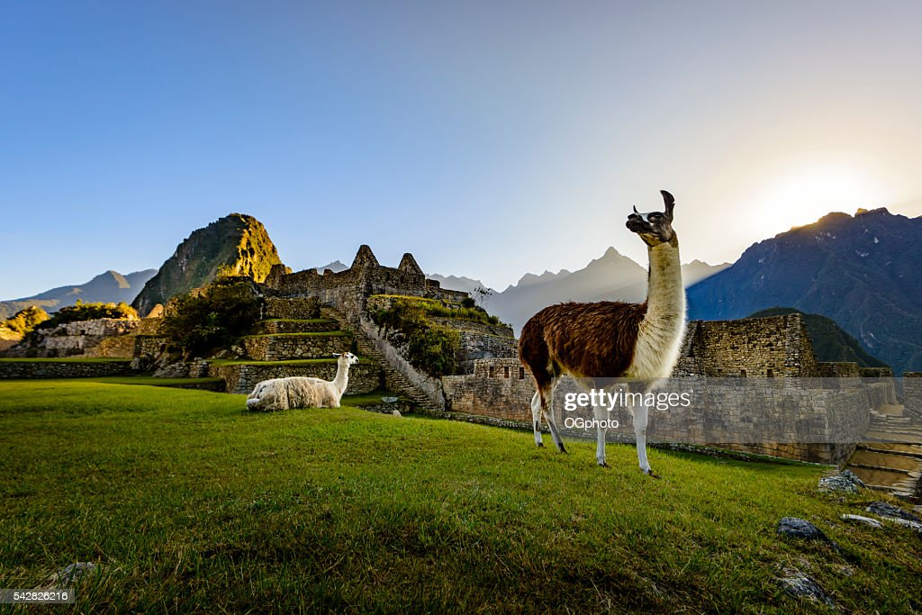 Llamas at first light at Machu Picchu, Peru : Stock Photo