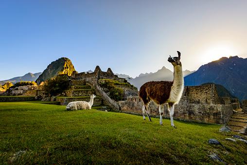 Llamas at first light at Machu Picchu, Peru 542826216