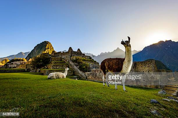 llamas at first light at machu picchu, peru - peru stock pictures, royalty-free photos & images