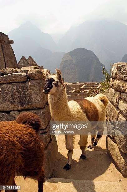 Llamas at the ruins of Machu Picchu