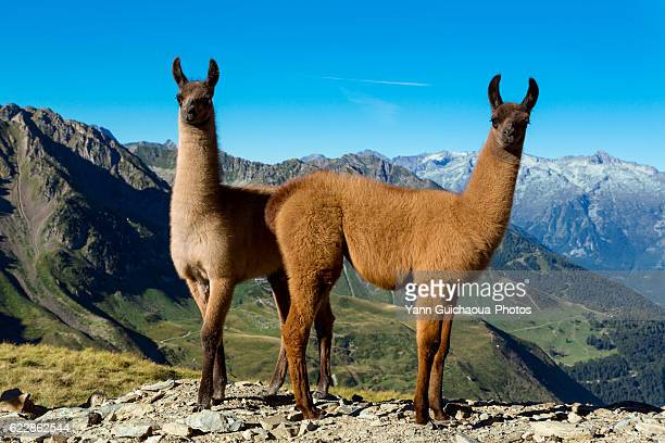 llamas, col du tourmalet, hautes pyrennes, france - lama stock pictures, royalty-free photos & images