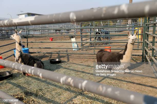 Llamas displaced by the Camp Fire are seen in a corral at a large animal shelter at the Butte County Fair Grounds in Gridley Calif on Monday Nov 12...