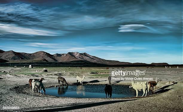 llamas drinking water - victor ovies fotografías e imágenes de stock