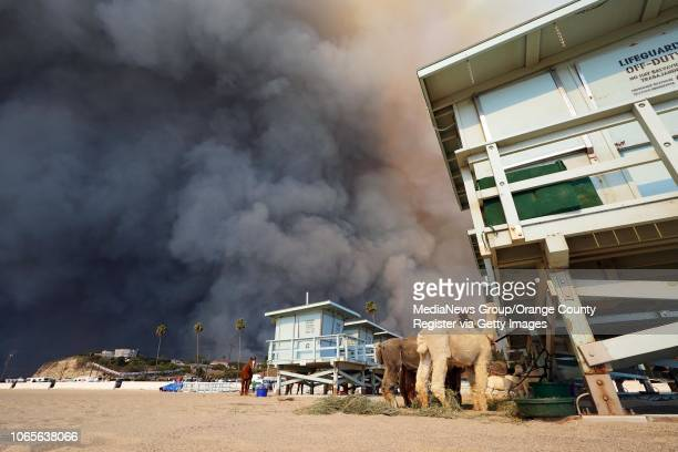Llamas evacuated from the Woolsey Fire are tied to a lifeguard tower at Zuma Beach in Malibu on Friday Nov 9 2018