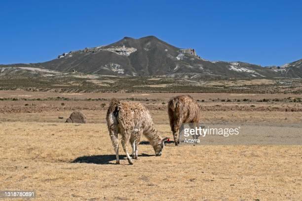 Llamas grazing on high plateau of the Altiplano, Potosí Department, Bolivia.