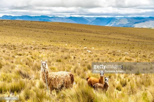 llamas grazing the fields around the chimborazo mountains in the ecuadorian andes mountains - américa del sur fotografías e imágenes de stock
