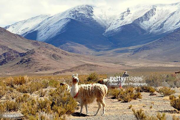 llamas in andes altiplano of argentina - salta argentina stock photos and pictures