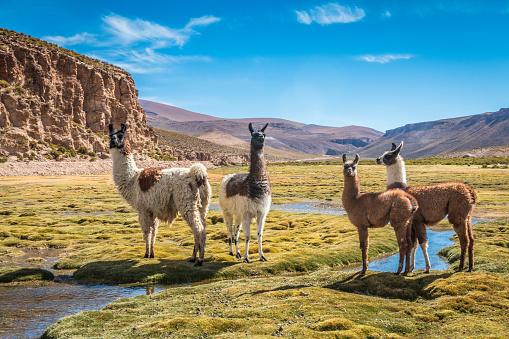 Llamas in Bolivia 689654354