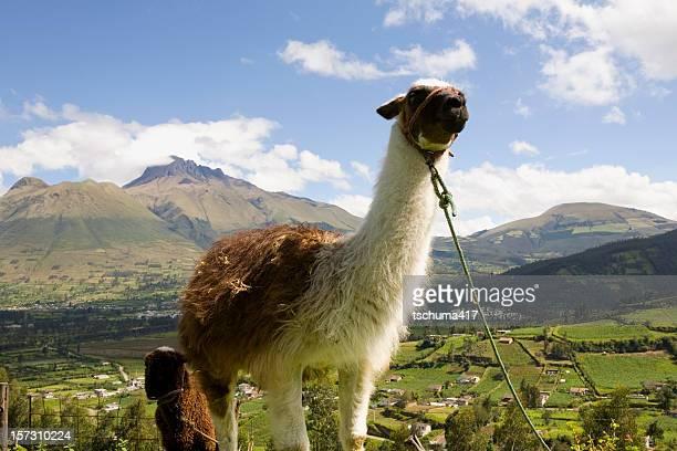 Lamas en Équateur