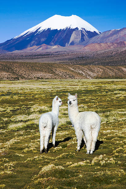 Llamas in front of the volcano Sajama