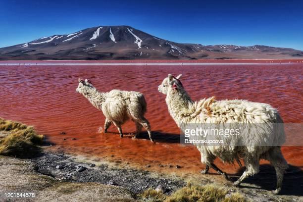llamas in laguna colorada (red lagoon), bolivia - bolivia stock pictures, royalty-free photos & images