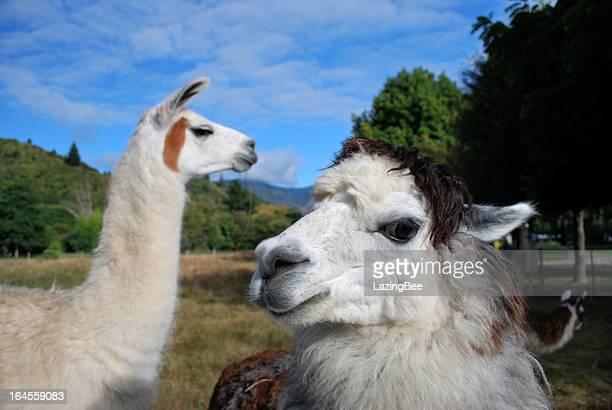 Llamas in Rural Scene