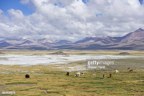 Llamas -Lama glama- in front of mountains, Putre, Arica y Parinacota Region, Chile