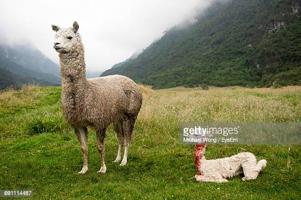 llamas on field against mountain - lama stock pictures, royalty-free photos & images