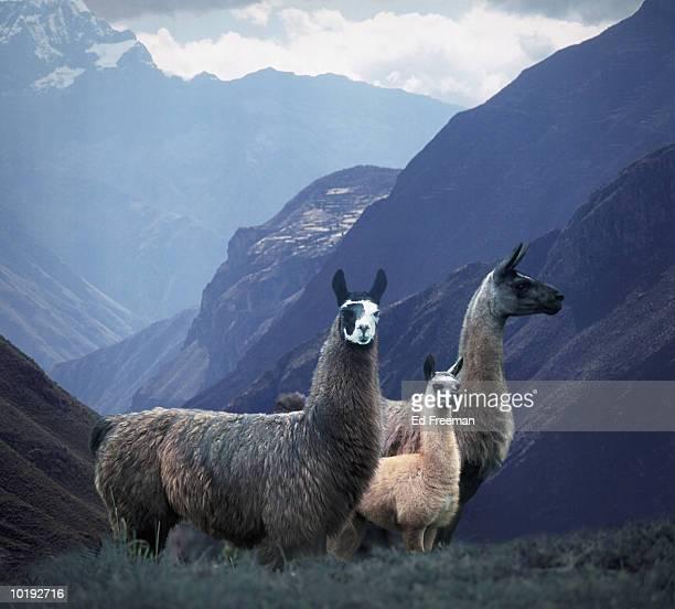 llamas (lama glama) on hillside, peru - llama animal fotografías e imágenes de stock