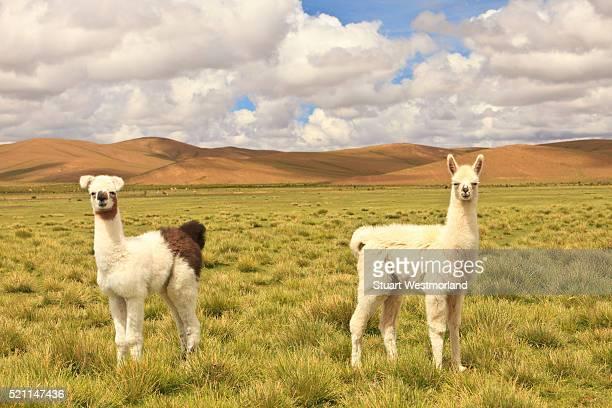 llamas on pampa - llama stock pictures, royalty-free photos & images