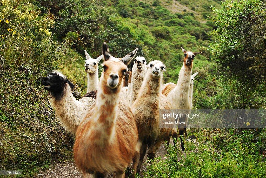 Llamas on Peru, Inca Trail-17 : Stock Photo