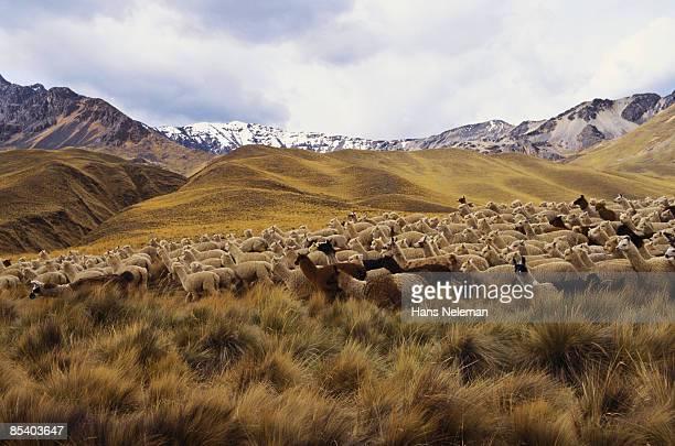 llamas on the dry grass altiplano - paisajes de peru fotografías e imágenes de stock