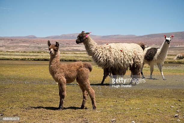 llamas - hugh threlfall stock pictures, royalty-free photos & images
