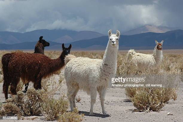 llamas - lama stock pictures, royalty-free photos & images