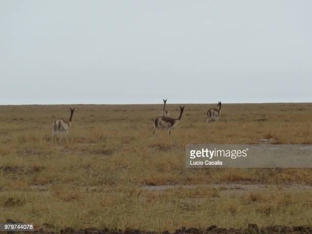 llamas - springbok deer stock photos and pictures