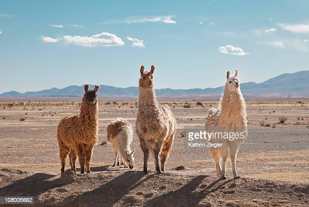 llamas posing in high desert - lama stock pictures, royalty-free photos & images