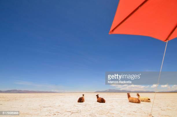 llamas resting at salinas grandes, jujuy province - radicella stock photos and pictures