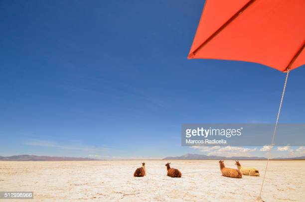 llamas resting at salinas grandes, jujuy province - radicella stock pictures, royalty-free photos & images