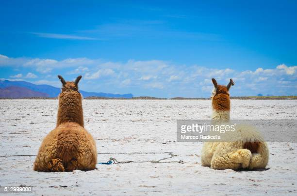 llamas resting at salinas grandes, jujuy province - radicella stock-fotos und bilder