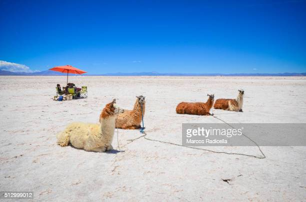 llamas resting at salinas grandes, jujuy province - radicella stock pictures, royalty-free photos & images