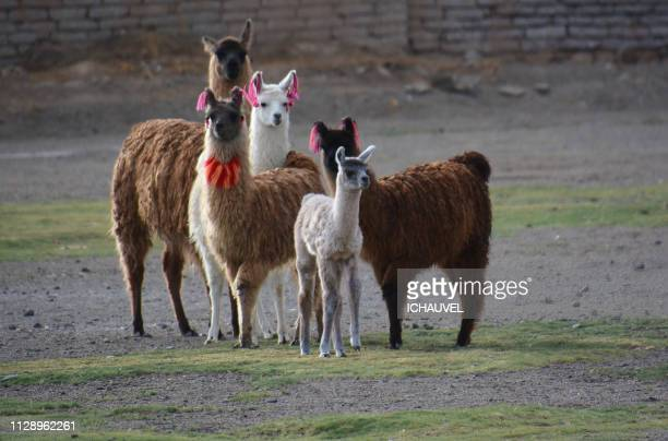 Llamas South Lipez Bolivia