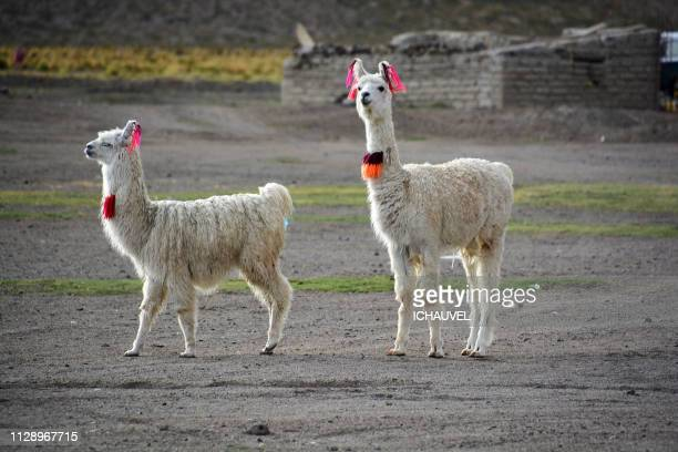 Llamas South Lipez Bolivia