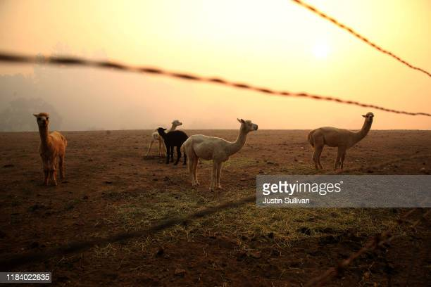 Llamas stand in a field as smoke from the Kincade Fire lingers in the air on October 28 2019 in Windsor California Fueled by high winds the Kincade...