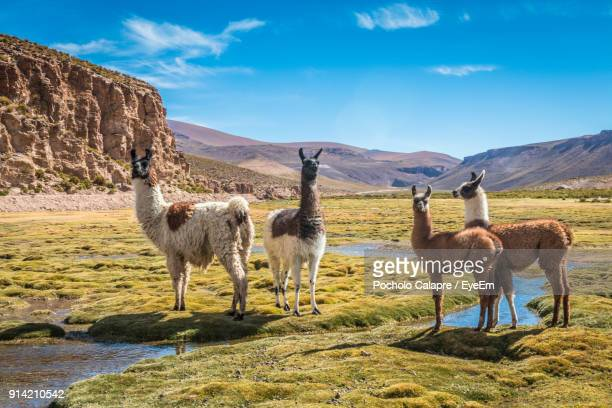 llamas standing on grassy field against mountains - lama stock pictures, royalty-free photos & images
