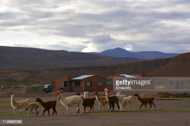 llamas sud lipez bolivia - llama animal fotografías e imágenes de stock