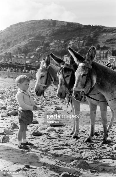 Llandudno, a seaside town in Conwy County Borough, Wales. A young boy looking at the donkeys on the beach, 16th July 1958.