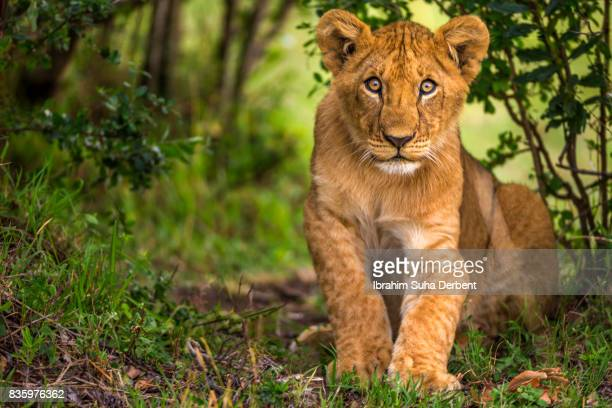 llion cub is looking to camera - lion cub stock photos and pictures
