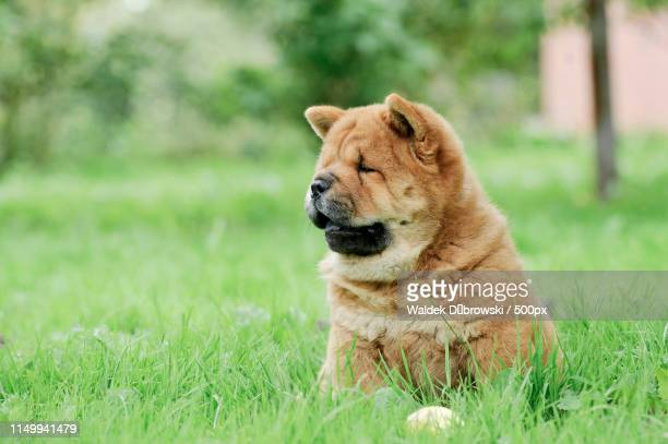 llittle chow chow puppy portrait - chow stock pictures, royalty-free photos & images