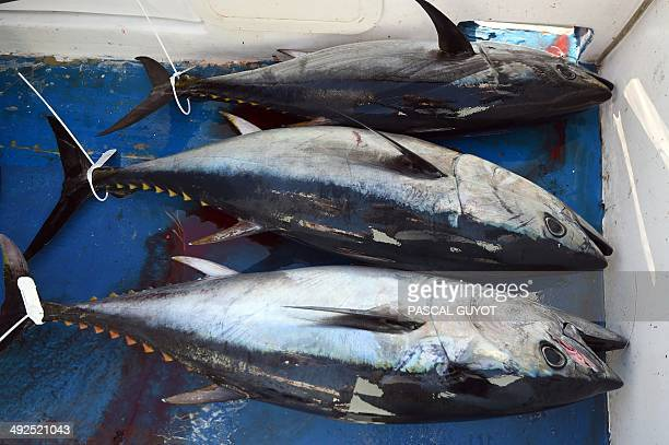 A load of bluefin tuna is pictured in a boat in the port of Sete on the Mediterranean coast southern France on May 17 2014 The annual bluefin tuna...