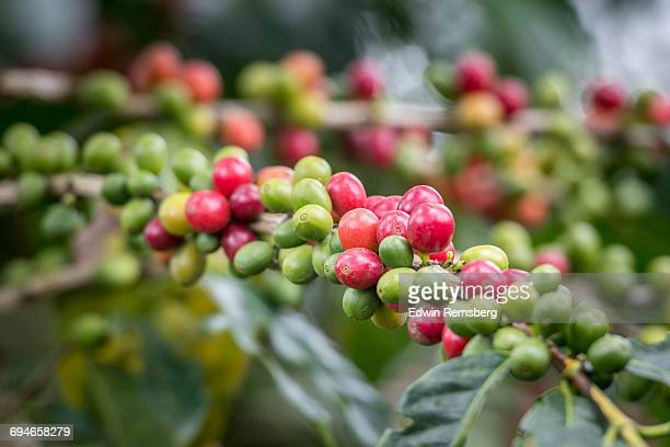 Loaded branches of Coffee plant