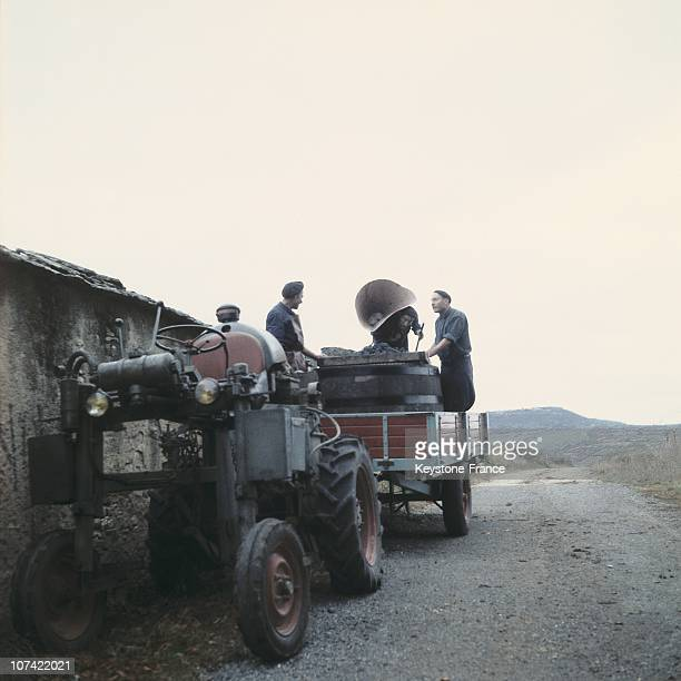Loading Of The Wine Grapes On A Tractor In France On 1961