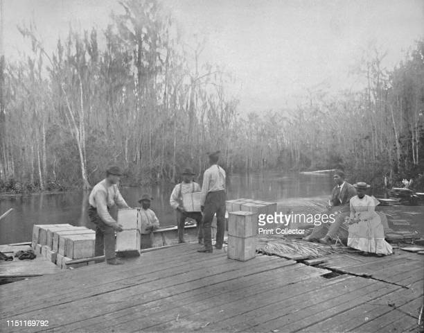 Loading Oranges on the Ocklawaha River Florida' circa 1897 The Ocklawaha River is the principal tributary of the St Johns River used extensively in...