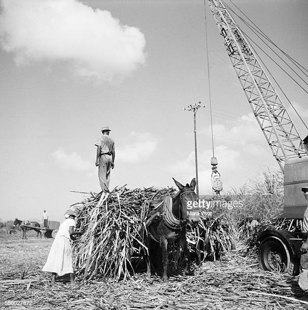 Loading Sugar Cane Onto Donkey Cart Trinidad