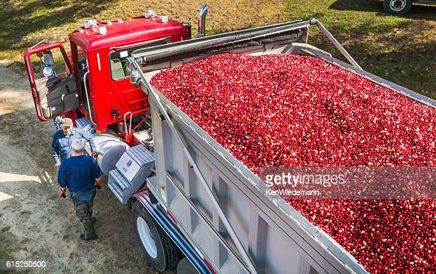 loading the berries - cranberry harvest stock pictures, royalty-free photos & images
